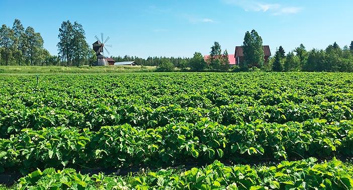Luomuviljeltyä Mansikkatalon mansikkamaata sinitaivaan alla